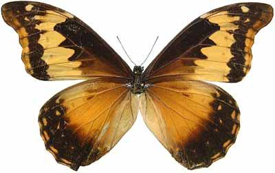 ButterflyCorner.net: Morpho rhetenor (Blue Morpho)
